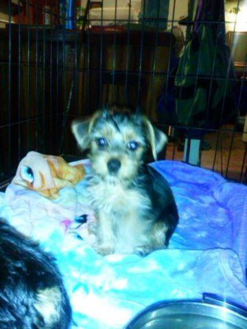male and female yorkies available 24th of july