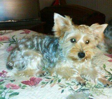 male and female yorkies will be ready by christmas.