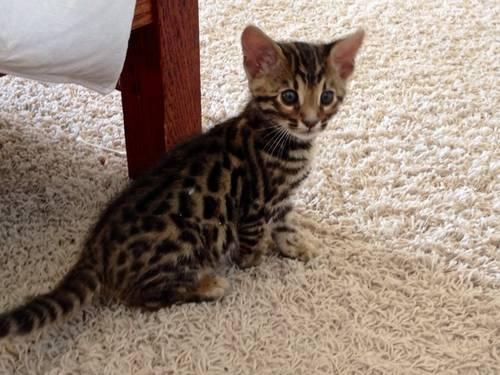 Bengal cats for sale in oregon