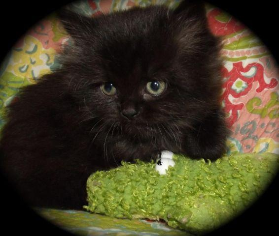 Black Himalayan Cat