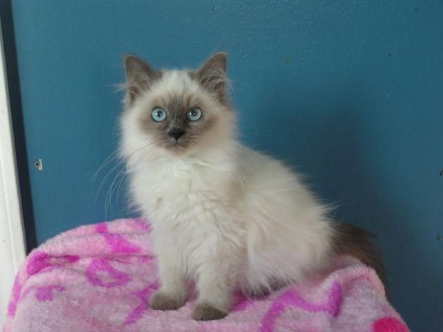 Blue Kittens For Sale : Male blue point ragdoll kittens for sale in blanchard michigan