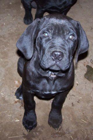 Male Cane Corso Mastiff Puppy For Sale In Trufant Michigan