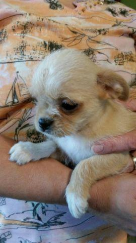 chihuahua puppies for sale in michigan male chihuahua shih tzu mix puppies for sale in midland 956