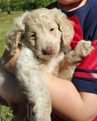 Male f1b goldendoodle 8 week old puppy for sale