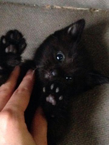 Male & Female Bombay & Siamese Mix Kittens