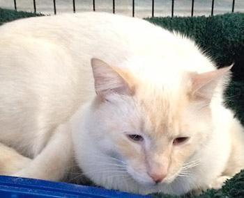 Male flame point siamese tonkinese cat for adoption for for A cut above pet salon