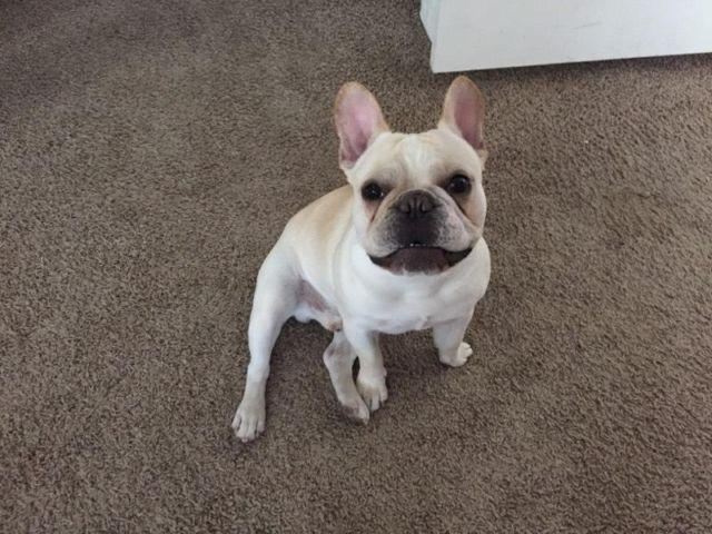 Male French Bulldog For Sale In Belen New Mexico Classified