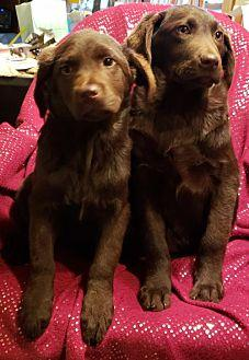 Male Lab Chocolate Labrador Retriever Puppy Male For Sale In Antioch