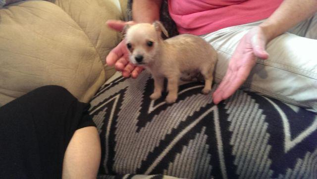 are chihuahua hypoallergenic male malchi hypoallergenic shedless chihuahua maltese 7 1902