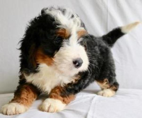 Richard: Male Mini Bernedoodle