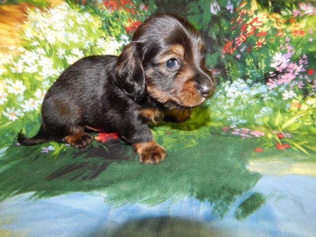 MALE MINIATURE DACHSHUND, HANDSOME LONGHAIR SHADED RED