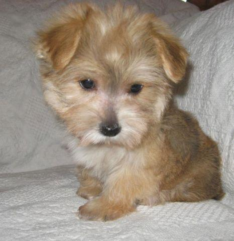 maltese yorkie mix price male morkie puppy maltese yorkshire terrier mix for sale 1769