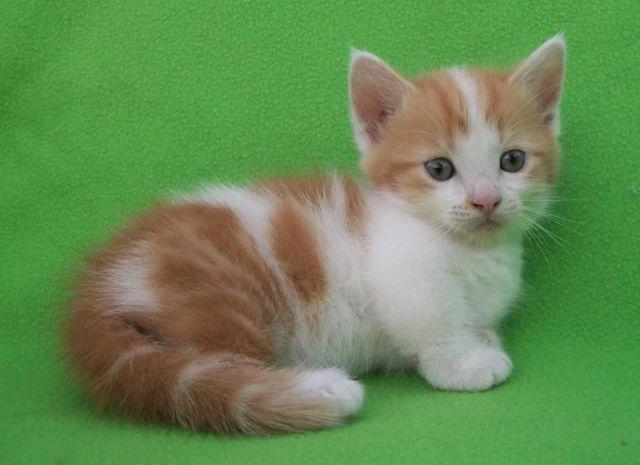 Munchkin Cat Kitten Orange | www.imgkid.com - The Image ...