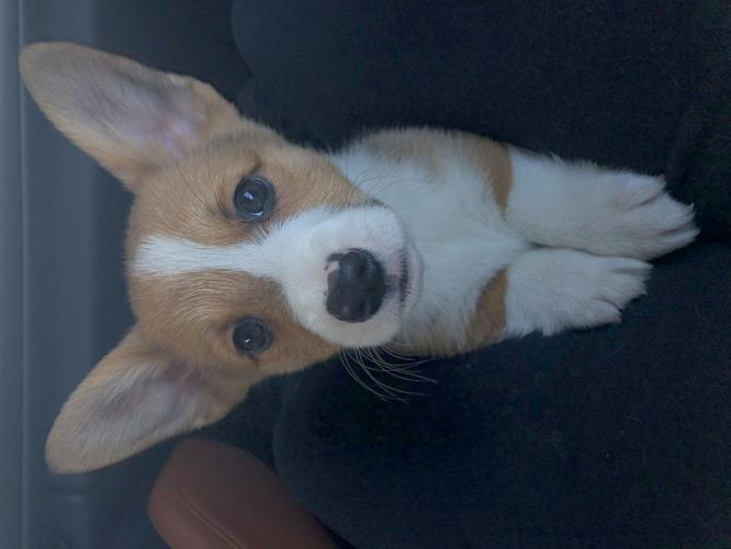 Male Pembroke Welsh Corgi For Sale In Indianapolis Indiana