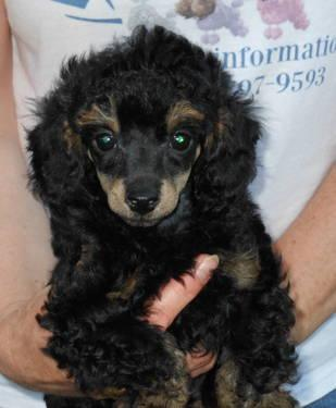 Male Phantom Toy Poodle Adult Blacksilver For Sale In