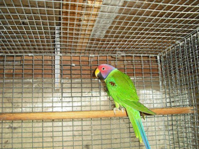 male plum head parakeet