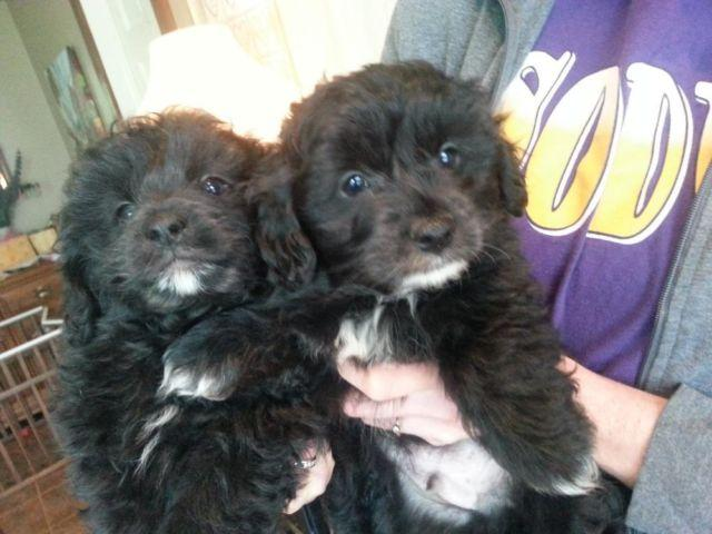 Male Pomapoo Puppies for Sale in Sodus, New York ...