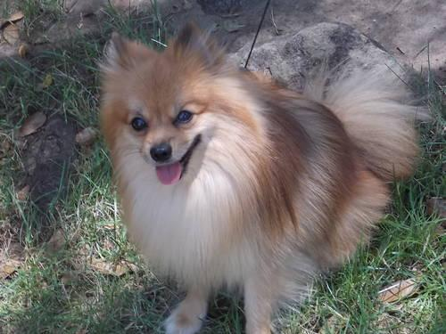 male pomeranian for sale male pomeranian for sale in alta hill california 8107