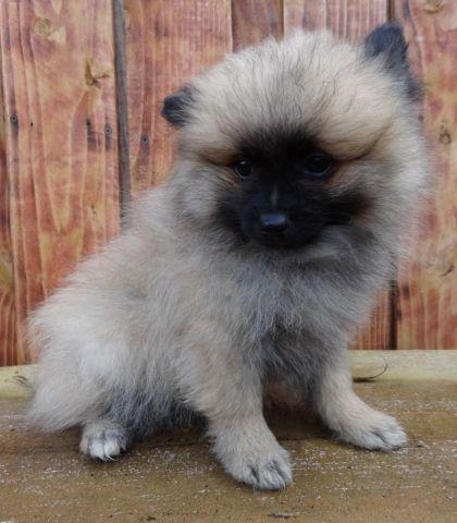 male pomeranian for sale male pomeranian for sale in marysville washington 1590