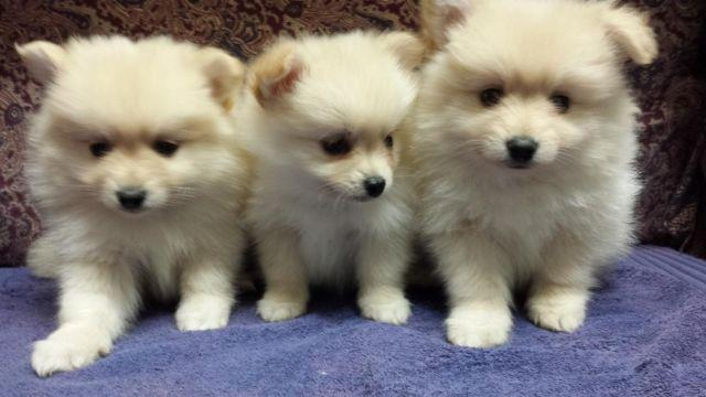 Male Pomeranian Puppies Ckc Registered For Sale In Houston Texas