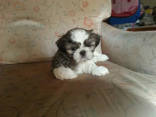 Pets And Animals For Sale In Barry Lakes New Jersey Puppy And