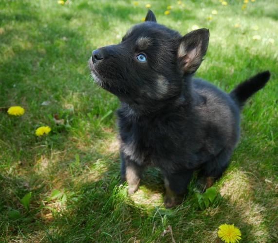 Male Shepsky Puppy German Shepherd Husky Mix