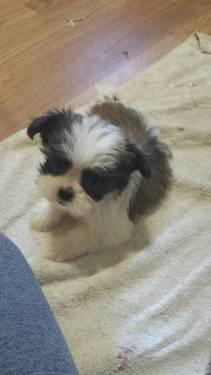 Dog Shih Tzu Male Pets And Animals For Sale In North Carolina