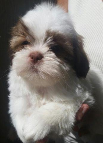 Male Shih Tzu Puppy For Sale In San Antonio Texas Classified Americanlisted Com