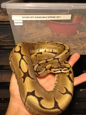 Male Spider Het Albino Ball Python 1 5 Years Old For