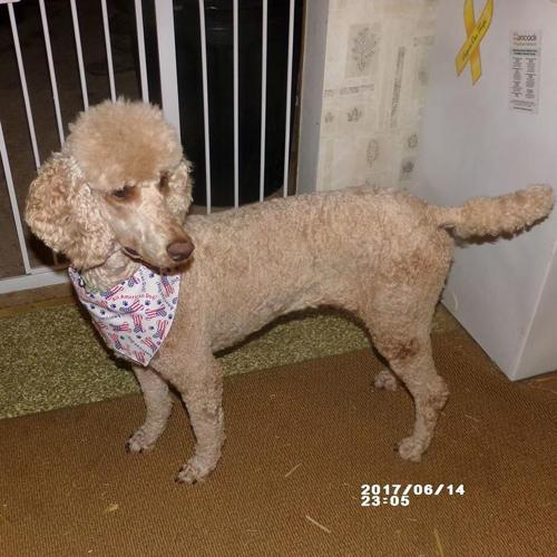Male Standard Poodle Puppies!