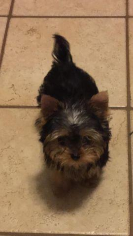 Teacup Yorkie For Sale In Ohio Classifieds Buy And Sell In Ohio