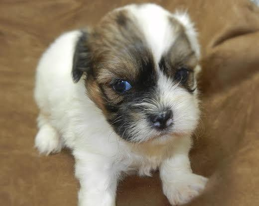 Male Teddy Bear Puppies Shih Tzubichon Mix Hypoallergenic For