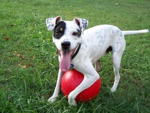 Wanted: Male Terrier (Rat Terrier, Jack Russell ...