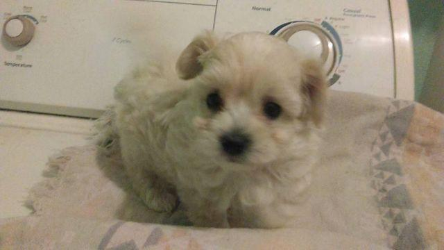 Male Toy Poodle Cross Pups 75 85 Poodle For Sale In