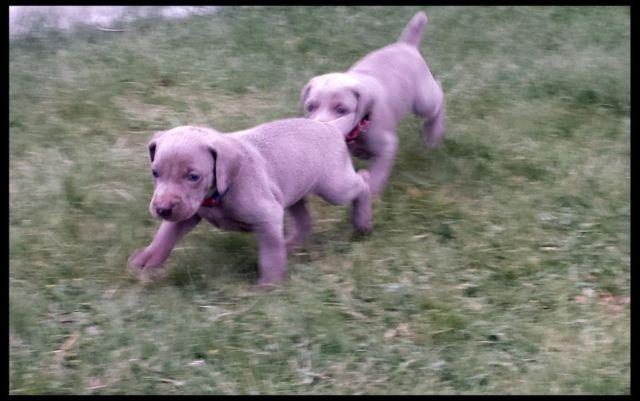 Male weimaraner puppies hunting dogs for sale in kennewick