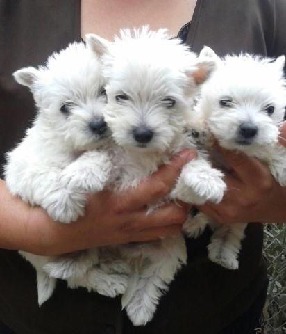 Male White West Highland Terrier puppies