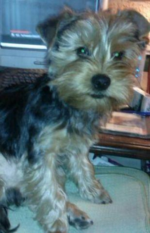 male Yorkie 5 1/2 months old very sweet updated pics