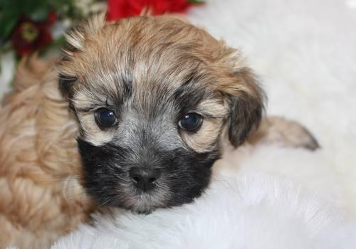 malshi maltese shih tzu male brown with black highlight