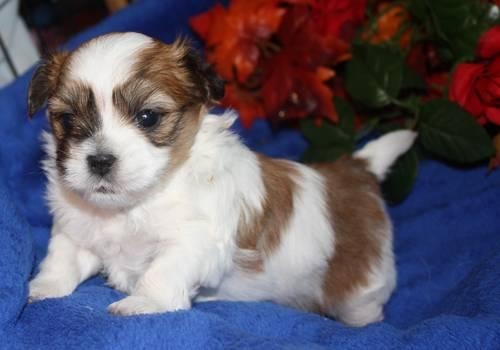 Malshi (Maltese- Shih Tzu) male white with brown spots for ...