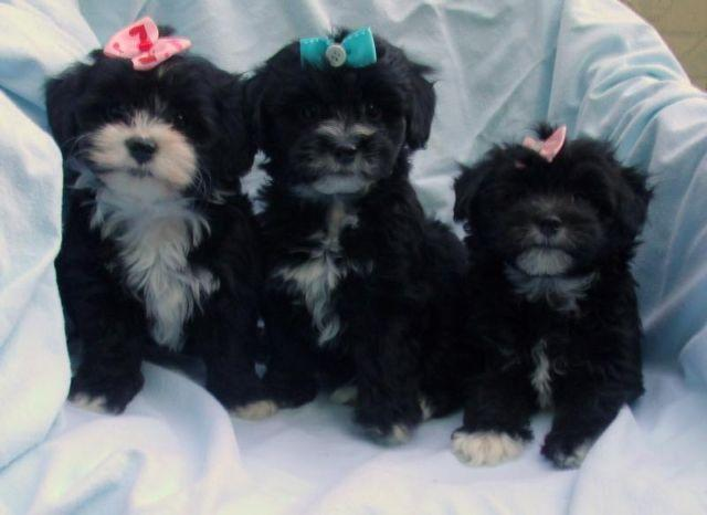 Pets And Animals For Sale In Canoncito New Mexico Puppy And