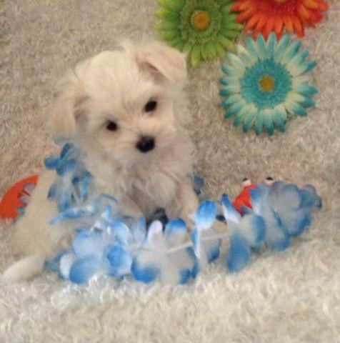 Maltese AKC 8 Weeks / 2 females 2 males