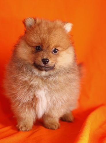 pomeranian california maltese and pomeranian puppies available for sale in los 6589