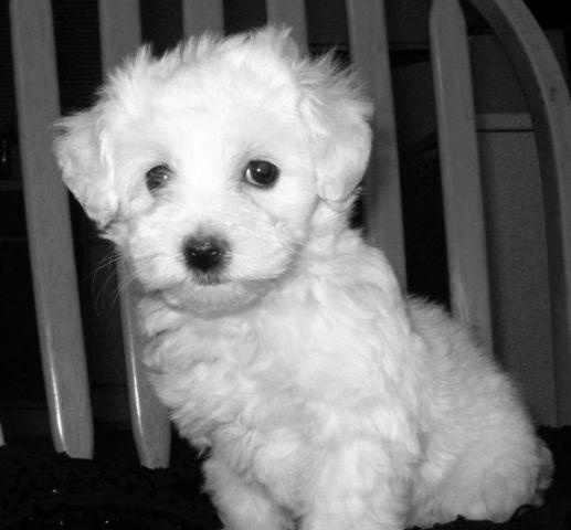 bichon frise maltese mix maltese bichon frise mix malticon for sale in de land 7470