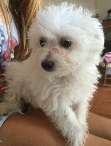 MALTESE/BICHON PUPPIES