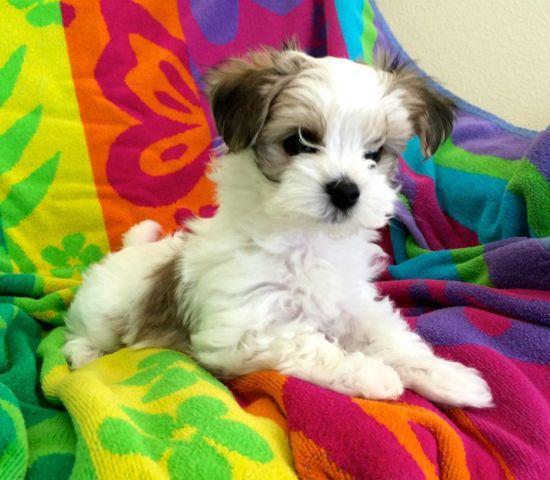 Maltese Biewer Yorkshire Terrier Mix Morkies For Sale In Camas