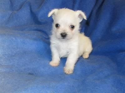 Maltese/ Chihuahua mix puppies male & female 8 wks for ...