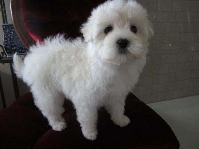 Maltese-Female-Brandy-Non Shedding-Beautiful Baby