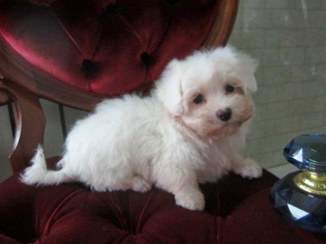 Maltese-Female-Madison-Non Shedding-9 weeks old