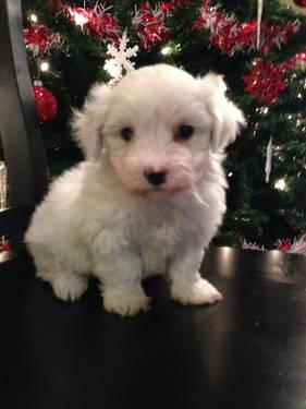 maltese breeders indiana maltese for sale for sale in indianapolis indiana 8141