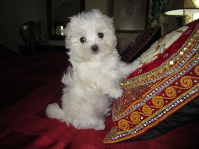 Maltese-Male-Cole-Non Shedding-Baby Doll Face-9 weeks